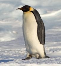 Ученые следуют за фекалиями, чтобы найти пингвинов